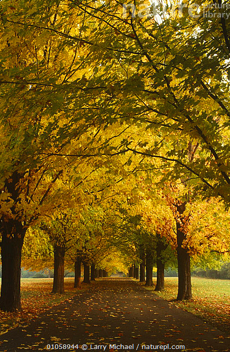 Avenue of Sugar maple trees in autumn {Acer saccharum} Wisconsin, USA, ACERACEAE,AUTUMN,BROADLEAF,DICOTYLEDONS,LANDSCAPES,LEAVES,PLANTS,ROADS,TREES,USA,VERTICAL,North America, Larry Michael
