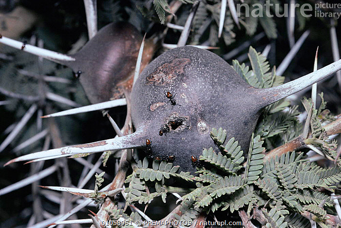 Ants {Crematogaster nigriceps} on swollen thorn of Whistling thorn acacia {Acacia drepanolobium} where they nest, Kenya, ACACIA,AFRICA,HORIZONTAL,HYMENOPTERA,INSECTS,INVERTEBRATE,INVERTEBRATES,KPM,PLANTS,SWOLLEN,SYMBIOSIS,TREES,CONCEPTS,PARTNERSHIP, PREMAPHOTOS