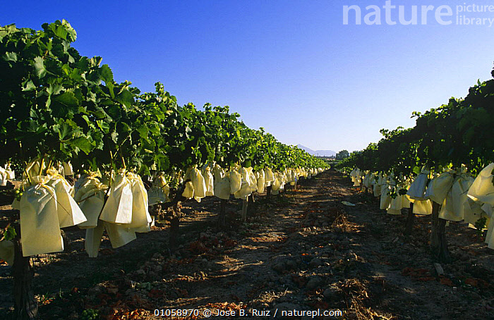 White grapes protected by paper bags {Vitis vinifera} in vineyard, Murcia, Spain, Europe, AGRICULTURE,CROPS,DICOTYLEDONS,EUROPE,FRUIT,LANDSCAPES,PLANTS,RHAMNACEAE,SPAIN, Jose B. Ruiz