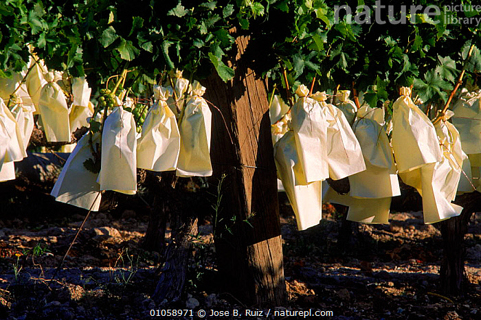 White grapes protected by paper bags, Murcia, Spain, Europe, AGRICULTURE,BAGS,CROPS,CULTIVATION,EUROPE,FRUIT,GRAPES,JOSE,JRU,MURCIA,PAPER,PLANTS,PROTECTED,RUIZ,SPAIN,SPANISH,VINEYARD,VINEYARDS,VINIFERA},WHITE, Jose B. Ruiz