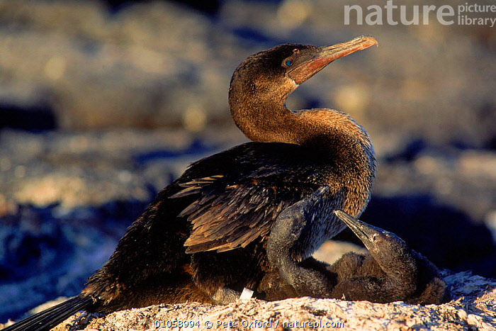 Flightless cormorant with chick (Nannopterum harrisi). Fernandina Island, Galapagos, SEABIRDS,BIRDS,FAMILIES,HORIZONTAL,CHICK,BABIES,RESERVE,GALAPAGOS,PARENTAL,NESTING BEHAVIOUR,FERNANDINA,REPRODUCTION, Pete Oxford