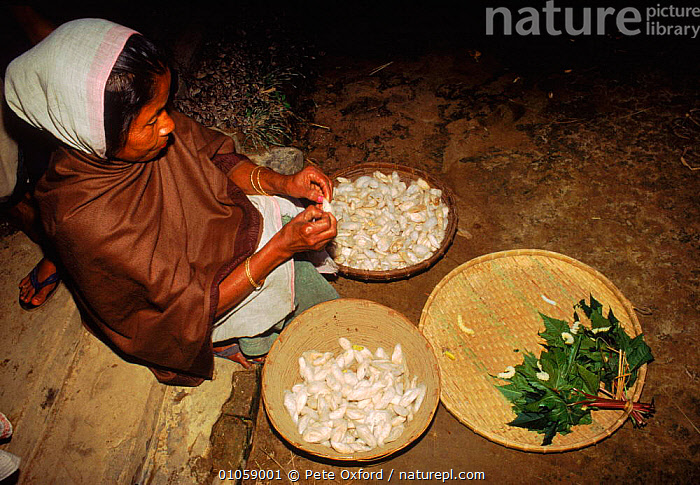 Woman removing silkworms (Bombyx mori) from cocoons. Kaziranga, Assam, India, HORIZONTAL,INDIA,MAKING,ASSAM,CHRYSALIS,CATERPILLARS,INSECTS,INDIAN SUBCONTINENT,KAZIRANGA,SILK,TRADE,TRADITIONAL,INVERTEBRATE,COCOONS,PEOPLE,ASIA,INVERTEBRATES,LEPIDOPTERA, Pete Oxford