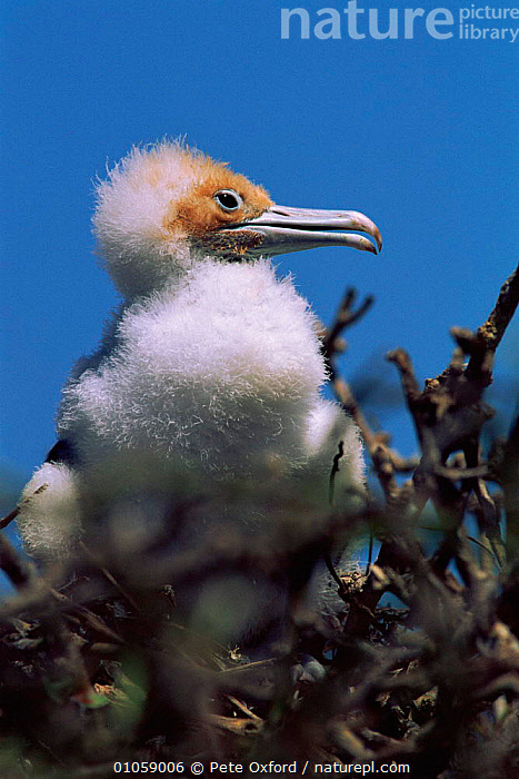 Great frigate bird chick, Genovesa, Galapagos., BABIES,BIRDS,CHICK,FEATHERS,GALAPAGOS,GENOVESA,NESTLING,OXFORD,PETER,PO,PORTRAITS,SEABIRDS,VERTICAL, Pete Oxford