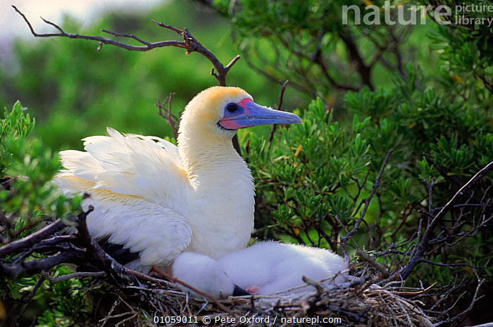 Red footed booby (Sula sula) with chick at nest. Oceania, NESTS,OCEANIA,CHICK,TREE,BIRDS,,PARENTAL,WHITE,NESTING BEHAVIOUR,HORIZONTAL,BABIES,FAMILIES,SEABIRDS,REPRODUCTION, Pete Oxford