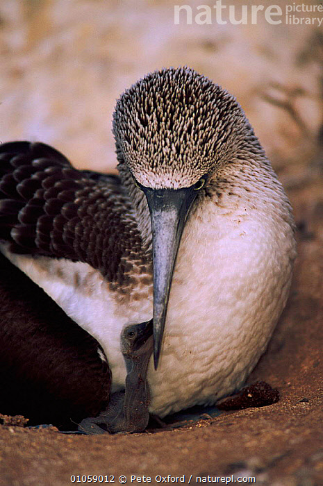 Blue footed booby feeding chick {Sula nebouxii} Espanola Is, Galapagos, PO,SEABIRDS,CHICKS,NESTLING,OXFORD,PETER,FAMILIES,RESERVE,GALAPAGOS,BABIES,ESPANOLA,VERTICAL,BIRDS,FEEDING,PARENTAL, Pete Oxford