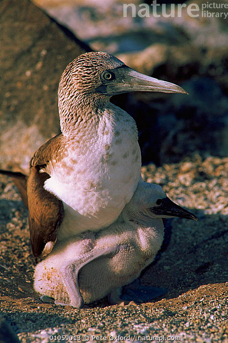 Blue footed booby with chick {Sula nebouxii} Espanola Is, Galapagos, BIRDS,OXFORD,PETER,PO,CHICK,VERTICAL,NESTLING,SEABIRDS,NEST,RESERVE,BABIES,FAMILIES,GALAPAGOS,ESPANOLA,PARENTAL, Pete Oxford