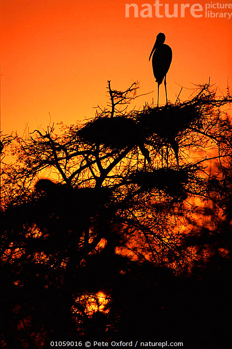 Painted stork at nest in tree at sunset {Ibis leucocephalus} India, INDIA,COLONY,OXFORD,INDIAN SUBCONTINENT,NESTING BEHAVIOUR,SUNSET,,NESTS,,VERTICAL,SILHOUETTES,PETER,PO,ASIA,REPRODUCTION, Pete Oxford