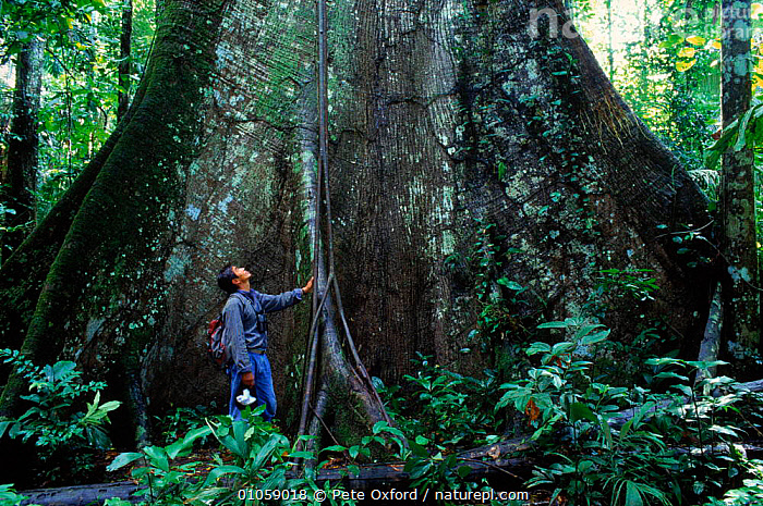 Person at buttress root of Ficus sp. Manu NP, Peru, South America, BUTTRESS,FICUS,RESERVE,ROOTS,TROPICAL RAINFOREST,TRUNKS,PEOPLE,MANU,TREES,HORIZONTAL,NP,PLANTS,NATIONAL PARK,SOUTH-AMERICA, Pete Oxford