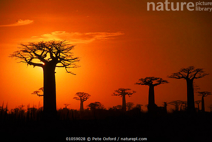 Boabab trees (Adansonia grandidieri) silhouetted at sunset. Madagascar, HORIZONTAL,SILHOUETTES,MADAGASCAR,PLANTS,TREES,SUNSET,WEIRD,ATMOSPHERIC,LANDSCAPES, Pete Oxford