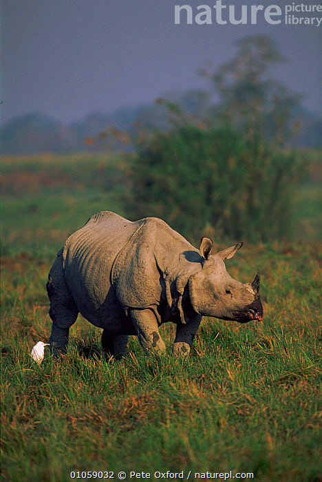 Indian rhinoceros with Egret {Rhinoceros unicornis} India, PETER,INDIAN SUBCONTINENT,MIXED SPECIES,VERTICAL,EGRET,BIRDS,INDIA,OXFORD,PERISSODACTYLA,ENDANGERED,MAMMALS,PO,ASIA, Pete Oxford
