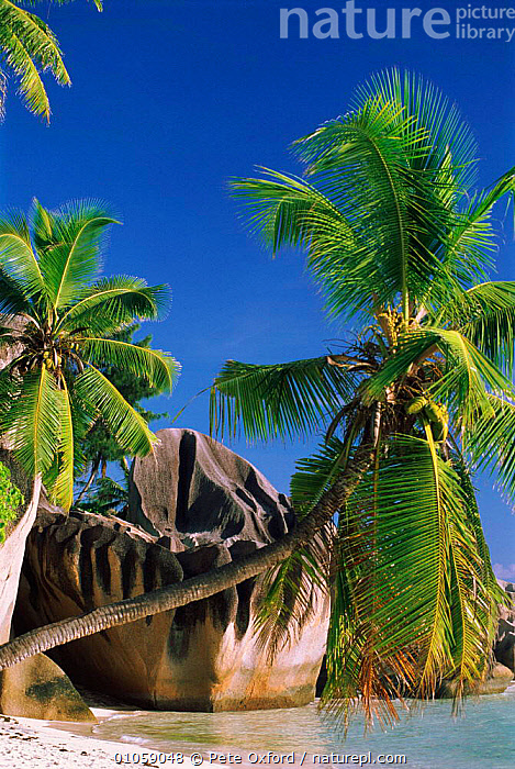 Coconut palm trees and granite outcrop. Sourse d'Argent beach, Las Digue, Seychelles., D'ARGENT,GRANITE,PLANTS,OXFORD,ROCK FORMATIONS,VERTICAL,PALM,TRAVEL,PETER,TREES,TOURISM,BEACHES,PO,COCONUT,DIGUE,GEOLOGY,INDIAN OCEAN ISLANDS, Pete Oxford