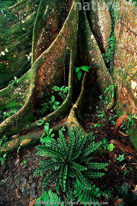 Buttress root of fig tree {Ficus sp} in rainforest Yasuni NP, Ecuador, PLANTS,TROPICAL RAINFOREST,PETER,SOUTH AMERICA,YASUNI,BUTTRESS,TREES,VERTICAL,ROOTS,ECUADOR,PO,RAINFOREST,OXFORD,RESERVE,UNDERSTORY,UNDERSTOREY, Pete Oxford