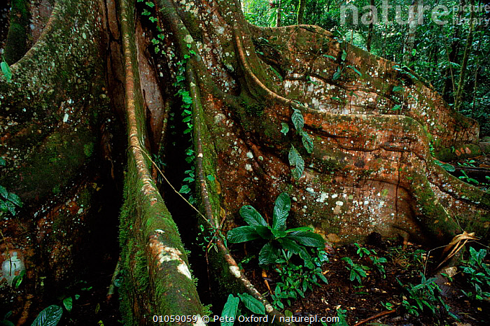 Buttress root (Ficus sp.) in rainforest. Yasuni NP, Ecuador, South America, BUTTRESS,SOUTH AMERICA,ROOTS,VERTICAL,PLANTS,ECUADOR,HORIZONTAL,RAINFOREST,TREES,YASUNI,NP,RESERVE,TROPICAL RAINFOREST,NATIONAL PARK, Pete Oxford