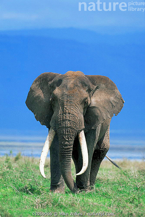 Male tusker African elephant {Loxodonta africana} Ngorongoro Crater NP, Tanzania, East Africa, AFRICA,EAST AFRICA,ELEPHANTS,ENDANGERED,MALES,MAMMALS,PORTRAITS,PROBOSCIDS,RESERVE,tusker,TUSKS,VERTEBRATES,VERTICAL, Mike Wilkes