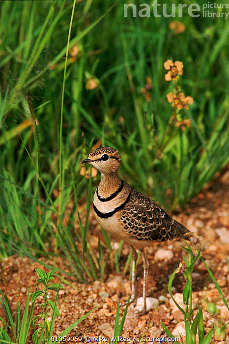 Two banded courser {Rhinoptilus africanus} Serengeti, Tanzania, AFRICA,MW,WILKES,MIKE,RESERVE,TANZANIA,SERENGETI,VERTICAL,BIRDS,EAST AFRICA,,Serengeti National Park, UNESCO World Heritage Site,, Mike Wilkes