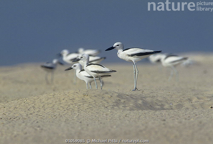 Crab plover {Dromas ardeola} at site of nesting burrows, United Arab Emirates, ARABIA,BIRDS,COASTS,CRAB PLOVERS,FLOCKS,INTERESTING,NESTS,UAE,VERTEBRATES,WADERS, Michael Pitts