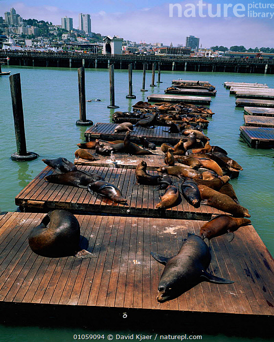 Californian sealions on pier {Zalophus californianus} San Francisco bay, CA, USA, DAVID,FRANCISCO,RESTING,,GROUPS,HORIZONTAL,DK,ADAPTATION,CITIES,USA,PINNIPEDS,CALIFORNIA,HARBOUR,MAMMALS,PIER,KJAER,NORTH AMERICA, David Kjaer
