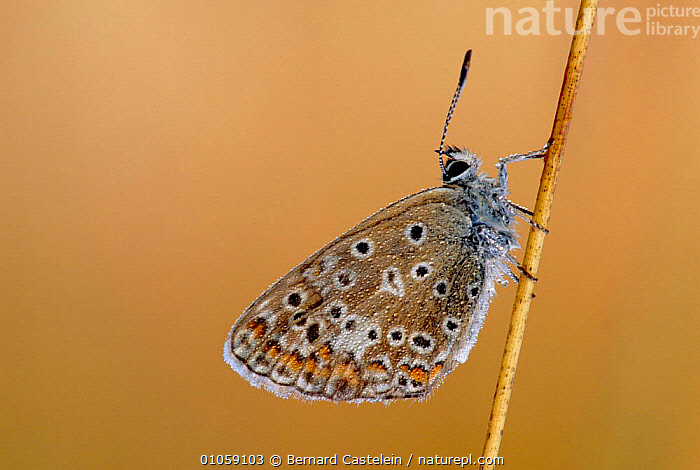 Adonis blue butterfly resting {Polyommatus bellargus} France, ARTHROPODS, BUTTERFLIES, EUROPE, FRANCE, HORIZONTAL, INSECTS, INVERTEBRATES, LEPIDOPTERA, Bernard Castelein