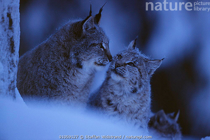 Lynx in snow {Lynx lynx} captive, Sweden, CARNIVORES,CAT,CATS,COLD,COUPLE,EUROPE,ICE,MAMMALS,PORTRAITS,SNOWING,TWO,WINTER, Staffan Widstrand