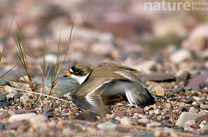 Ringed plover feigning injury {Charadrius hiaticula} Canada., BIRDS,CANADA,DEFENSIVE,HORIZONTAL,PLOVERS,WADERS,WOUNDED,North America,Behaviour, David Welling