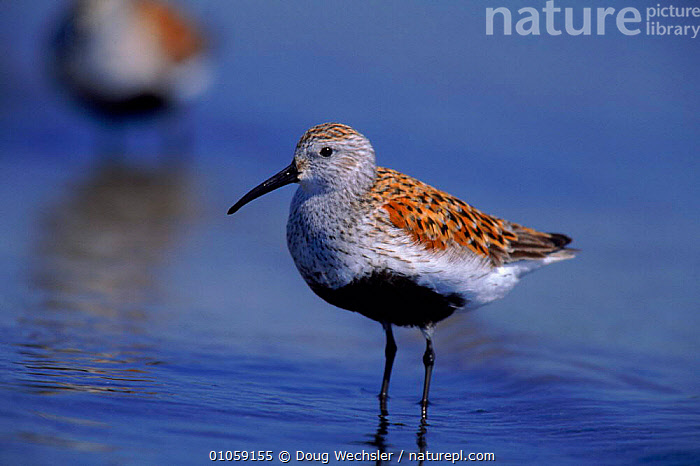Dunlin in breeding plumage {Calidris alpinus} Delaware bay. New Jersey, USA. North America, BIRD,BIRDS,DELAWARE,DWE,HORIZONTAL,ONE,USA,WADER,WADERS,WATER,WETLANDS,NORTH AMERICA,SANDPIPERS, Waders, Doug Wechsler