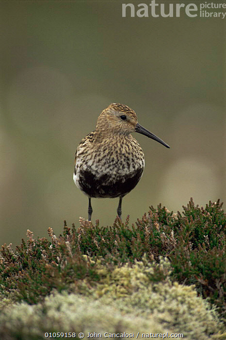 Dunlin {Calidris alpinus} in breeding plumage, UK., BIRDS,ENGLAND,EUROPE,MOORLAND,SANDPIPERS,UK,VERTEBRATES,VERTICAL,WADERS,United Kingdom,British, Waders, John Cancalosi