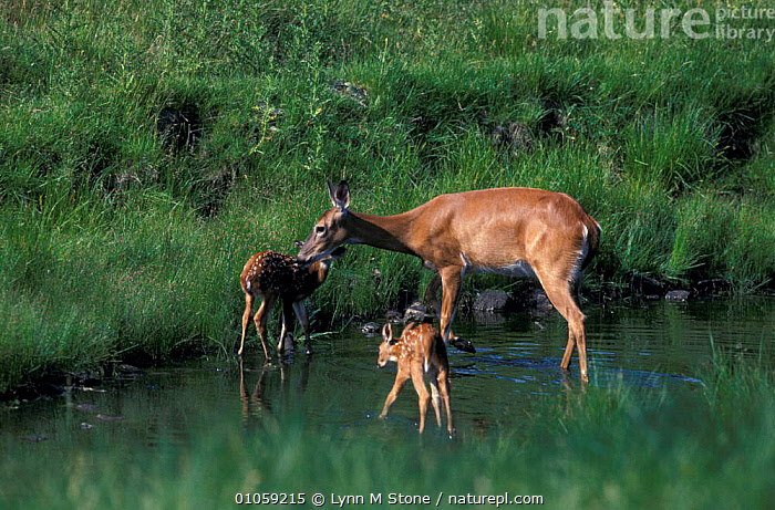 Whitetail deer with young {Odocoileus virginianus} North Illinois, USA, ARTIODACTYLA,BABIES,CUTE,FAMILIES,MAMMALS,NORTH AMERICA,WATER,WHITETAILED, Lynn M Stone