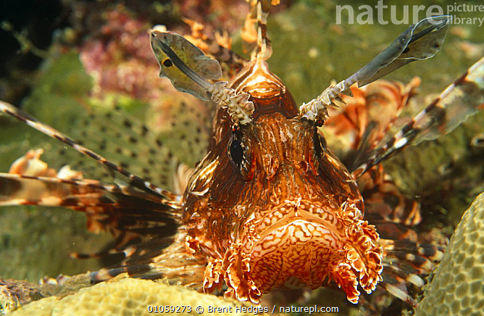 Lionfish head close-up (Pterois volitans) Milne Bay, Papua New Guinea, CLOSE UPS,FISH,HEADS,INDIAN OCEAN,LIONFISH,MARINE,OSTEICHTHYES,PAPUA NEW GUINEA,PORTRAITS,SOUTH EAST ASIA,TROPICAL,TROPICS,UNDERWATER,VERTEBRATES,WEIRD,Asia, Brent Hedges