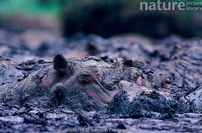 Hippopatamus (Hippopotamus amphibius) wallowing in mud. Virunga NP, DR Congo, (formerly Zaire), Central Africa, WALLOWING,HIPPO,HORIZONTAL,AFRICA,VIRUNGA,THERMOREGULATION,CONGO,CENTRAL AFRICA,RESERVE,ARTIODACTYLA,MAMMALS,ZAIRE,MUD , Bruce Davidson, Jabruson