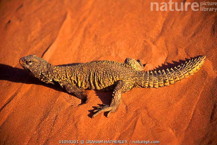 Egyptian spiny lizard (Uromastyx aegypticus). Morocco, North Africa, LIZARDS, REPTILES, VERTEBRATES, AFRICA, AGAMAS, DESERTS, HORIZONTAL, PORTRAITS, GRAHAM HATHERLEY