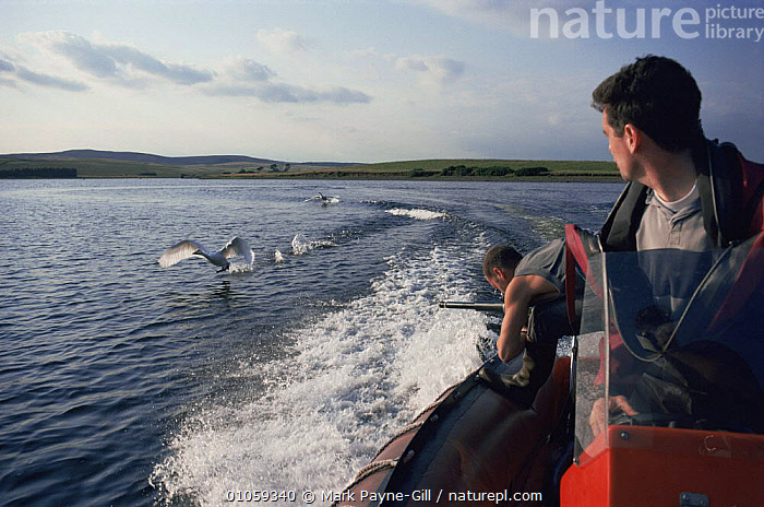 Simon King filming Whooper swans in flight for BBC programme Addicted to Swans., BIRDS,BOATS,EUROPE,FILMING,FLYING,HORIZONTAL,NHU,PEOPLE,SWANS,UK,WATERFOWL,United Kingdom,British, Mark Payne-Gill