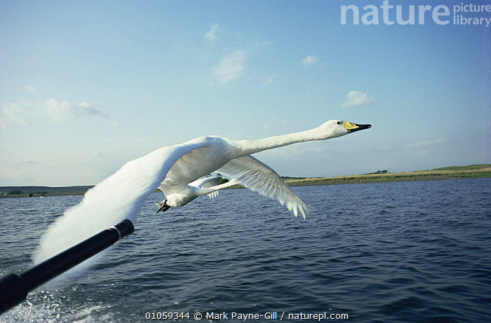 Filming Whooper swans in flight for BBC programme Addicted to Swans. UK, BIRDS,EUROPE,FILMING,FLYING,HORIZONTAL,NHU,SWANS,UK,WATERFOWL,United Kingdom,British, Mark Payne-Gill