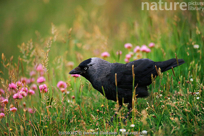 Jackdaw amongst Thrift {Corvus monedula} St Abbs head, Scotland, UK, CORVID,EUROPE,SCOTLAND,UK,BERNARD,COASTS,CASTELEIN,PLANTS,FLOWERS,BIRDS,THRIFT,HORIZONTAL,BC,ABBS,UNITED KINGDOM,BRITISH, Bernard Castelein