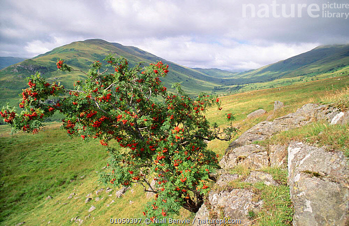 Rowan tree full of berries {Sorbus aucuparia} uplands of Scotland, UK, AUTUMN,BERRIES,DICOTYLEDONS,EUROPE,FRUIT,HIGHLANDS,LANDSCAPES,PLANTS,RESERVE,ROSACEAE,SCOTLAND,TREES,UK,United Kingdom,British, Niall Benvie