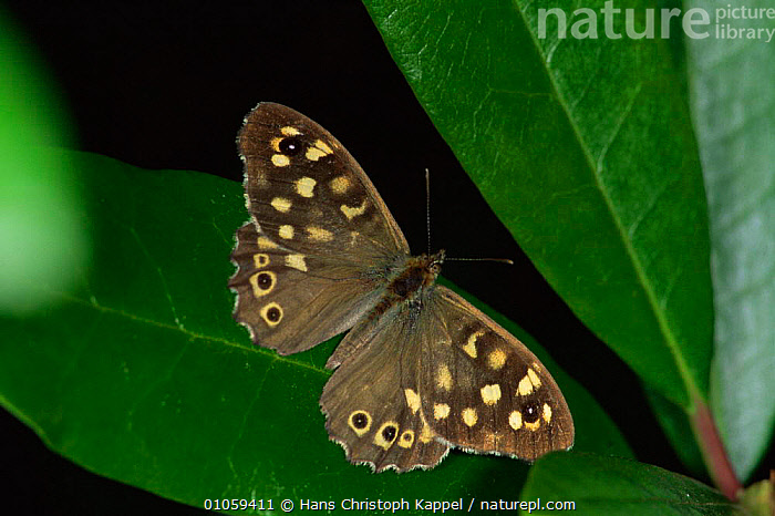 Speckled Wood Butterfly {Pararge aegeria} Germany, ARTHROPODS,BUTTERFLIES,CLOSE UPS,EUROPE,GERMANY,HORIZONTAL,INSECTS,INVERTEBRATES,LEPIDOPTERA,WINGS, Hans Christoph Kappel