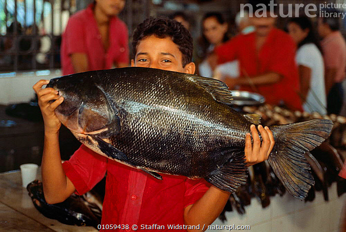 Large freshwater fish for sale in market, Manaus, Brazil., AMAZON,FOOD,LANDSCAPES,PEOPLE,TRADE,SOUTH-AMERICA, Staffan Widstrand