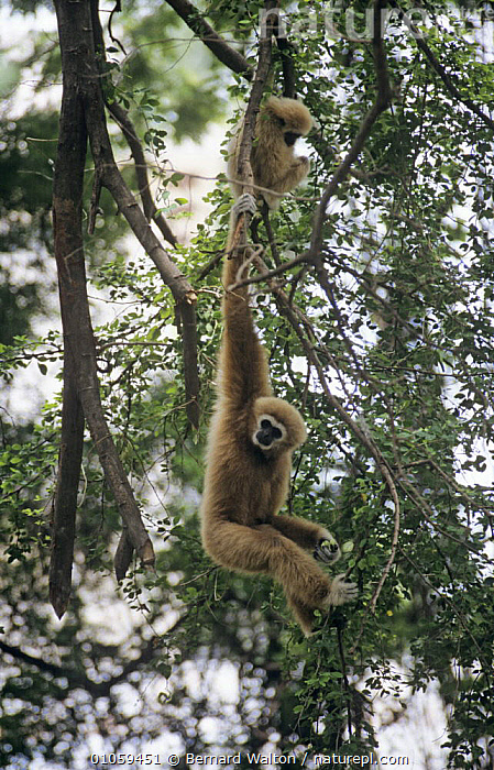 Two White-handed gibbons (Hylobates lar) in tree, one hanging from branch, captive, Thailand, BEHAVIOUR,BRANCHES,ENDANGERED,GIBBONS,GREAT APES,MAMMALS,PRIMATES,SOUTH EAST ASIA,TREES,VERTEBRATES,VERTICAL,Asia,PLANTS, Bernard Walton