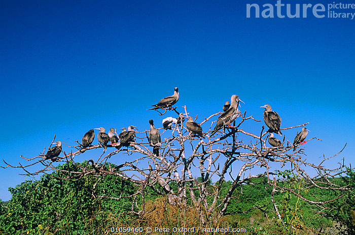 Red footed boobies {Sula sula} perched in dead tree, Tower Is, Galapagos, BIRDS,BOOBIES,FLOCKS,GALAPAGOS,GROUPS,SEABIRDS,TREES,VERTEBRATES,PLANTS, Pete Oxford