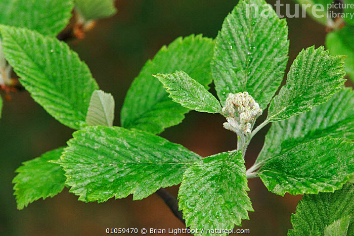 Whitebeam leaves and inflorescence (Sorbus aria). Perth, Scotland, UK, Europe, PERTH,INFLORESCENCE,UK,LEAVES,BUDS,EUROPE,GREEN,SCOTLAND,HORIZONTAL,SPRING,UNITED KINGDOM,BRITISH, Brian Lightfoot