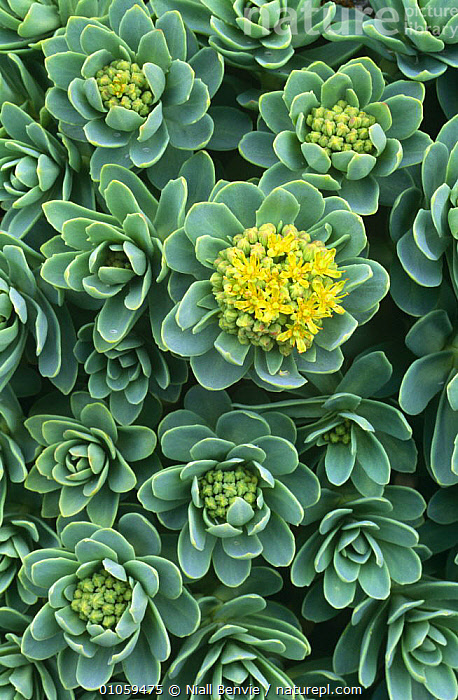 Roseroot in flower {Rhodiola rosea} Mingulay, Scotland, CRASSULACEAE, DICOTYLEDONS, EUROPE, FLOWERS, LEAVES, PLANTS, SCOTLAND, SUCCULENT, VERTICAL,UK,United Kingdom , Outer Hebrides, Niall Benvie
