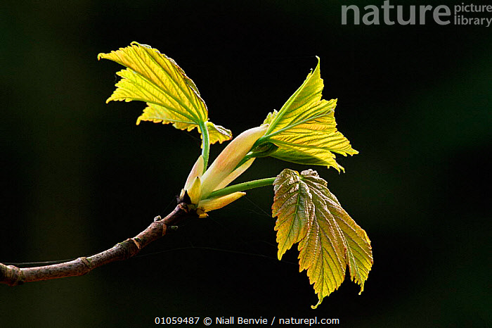 Young Sycamore leaves (Acer pseudoplatanus). Brechin, Scotland, UK, Europe, SPRING,SCOTLAND,YOUNG,LEAVES,PLANTS,UK,EUROPE,HORIZONTAL,BRECHIN,UNITED KINGDOM,BRITISH, Niall Benvie