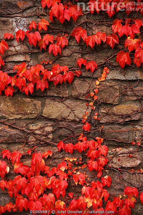 Virginia creeper (Parthenocissus quinquefolia) on stone wall. UK, Europe, VERTICAL,GARDENS,HORIZONTAL,RED,EUROPE,AUTUMN,ENGLAND,CLIMBERS,STONE,PLANTS,UK,WALL,LEAVES,UNITED KINGDOM,BRITISH,USA, John Downer