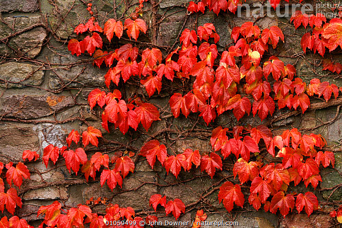 Virginia creeper on stone wall {Parthenocissus quinquefolia} UK, JOHN,PATTERNS,RED,WALL,DOWNER,UK,HORIZONTAL,BACKGROUNDS,JD,CLIMBERS,ENGLAND,PLANTS,EUROPE,STONE,AUTUMN,LEAVES,UNITED KINGDOM,BRITISH,USA, John Downer
