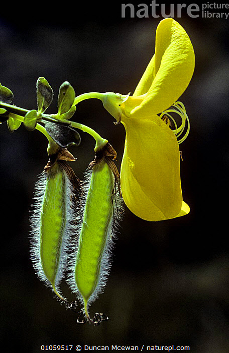 Broom flower with seed pod {Cytisus scoparius} Scotland, DICOTYLEDONS,EUROPE,FABACEAE,FLOWERS,LEGUME,PLANTS,SCOTLAND,SEEDS,SHRUBS,UK,VERTICAL,YELLOW,United Kingdom,British, Duncan Mcewan