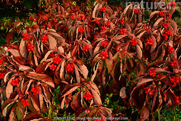 Dogwood with berries {Cornus sanguinea} Pennsylvania, USA, FRUIT,PLANTS,PENNSYLVANIA,USA,DWE,HORIZONTAL,SEEDS,DOUG,AUTUMN,WECHSLER,RED,BERRIES,NORTH AMERICA, Doug Wechsler