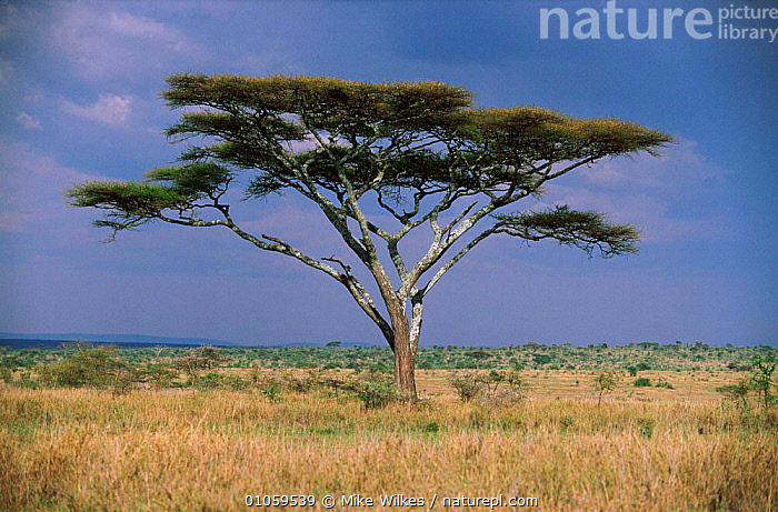 Acacia tree {Acacia sp} Serengeti NP, Tanzania, EAST AFRICA,AFRICA,PORTRAITS,SERENGETI,TREES,MIKE,MW,WILKES,LANDSCAPES,RESERVE,SAVANNA,TANZANIA,HORIZONTAL,GRASSLAND,PLANTS,,Serengeti National Park, UNESCO World Heritage Site,, Mike Wilkes