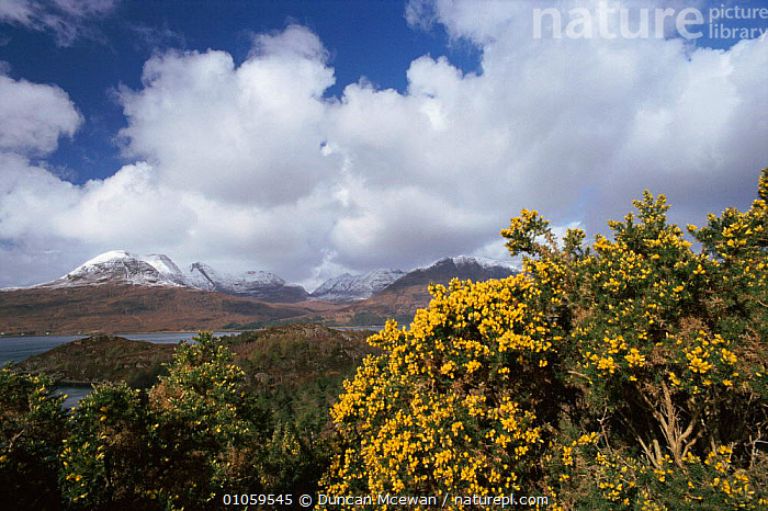 Gorse bush {Ulex europaeus} with mountains in background.  Wester Ross, Scotland, UK, LANDSCAPES,ROSS,HORIZONTAL,DMC,DUNCAN,SCOTLAND,BUSH,EUROPE,HEATHLAND,UK,WESTER,MCEWAN,FLOWERS,MOUNTAINS,YELLOW,UNITED KINGDOM,BRITISH, Duncan Mcewan