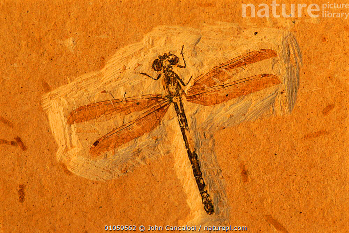 Dragonfly fossil in Santana formation. Early cretaceous. Brazil, CANCALOSI,INSECTS,BRAZIL,INVERTEBRATES,OLD,HORIZONTAL,CRETACEOUS,EARLY,DRAGONFLY,SOUTH AMERICA,JOHN,MINERALS,JCA,SANTANA,WINGS, John Cancalosi