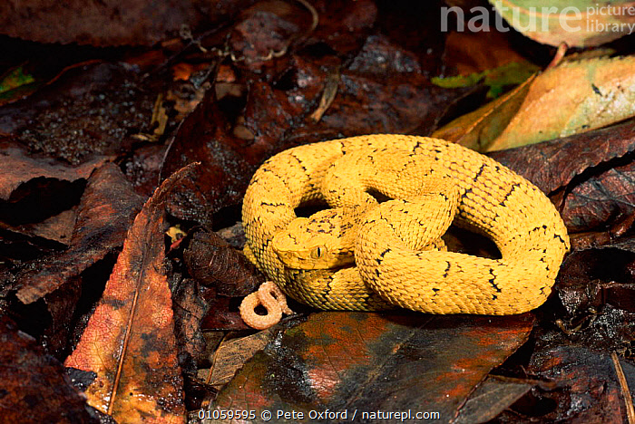 Fer de Lance Snake showing tail {Bothrops asper} West Ecuador, LEAVES,PREDATION,SHOWING,ECUADOR,PO,COILED,SNAKE,OXFORD,REPTILES,WEST,HORIZONTAL,LURE,PETER,YELLOW,CENTRAL AMERICA,MORPH,TAIL,BEHAVIOUR,SNAKES, Pete Oxford