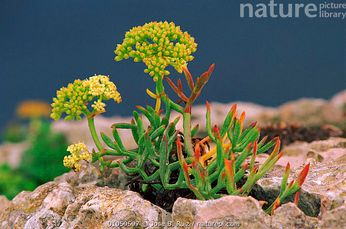 Rock samphire in flower {Crithmum maritimum} Alicante, Spain, FLOWERS,RICO,FLOWER,HORIZONTAL,PLANTS,EUROPE,ALICANTE,RR,RUIZ,SPAIN,COASTS, Jose B. Ruiz